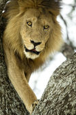 Lion on a tree — Stock Photo