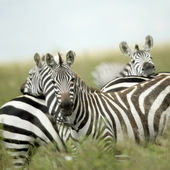 Zebras looking at the camera in the serengeti — Stock Photo