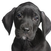 Puppy Great Dane (2 months) — Stock Photo