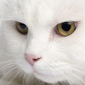 Close-up on a white angora cat (5 years) — Stock Photo