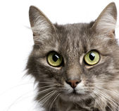 Close-up on a Crossbreed angora cat and european cat (9 years) — Stock Photo