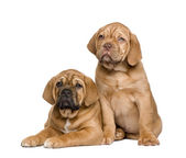 Two Dogue de Bordeaux puppies (2 months) — Stock Photo