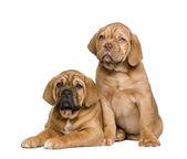 Two Dogue de Bordeaux puppies (2 months) — Stock Photo