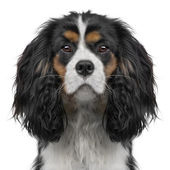 Cavalier King Charles puppy (10 months) (Digital enhancement) — Stock Photo