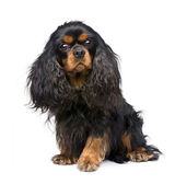 Cavalier King Charles (3 years) — Stock Photo