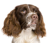 English Springer Spaniel, 10 months old, in front of a white background — Stock Photo