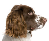 English Springer Spaniel (10 months) — Stock Photo