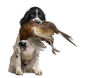 English Springer Spaniel hunting (1 year) — Stock Photo