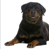 Rottweiler (3 years) — Stock Photo