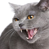 Chartreux (18 months) — Stock Photo