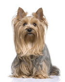 Yorkshire Terrier (5 years) — Stock Photo