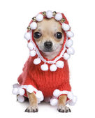 Chihuahua dressed as father crhistmas — Stock Photo