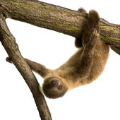 Baby Two-toed sloth (4 months) - Choloepus didactylus — Stock Photo