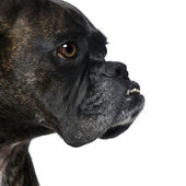 Close-up on a Boxer's head (9 years) — Stock Photo