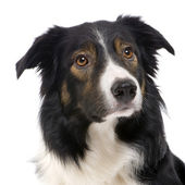 Border Collie (2,5 years) — Stock Photo