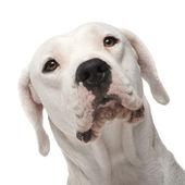 Argentine Dogo (18 months) — Stock Photo