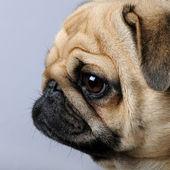 Close-up on a profile of a pug (3 years) — Stock Photo