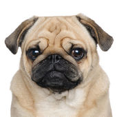 Pug (3 years) — Stock Photo