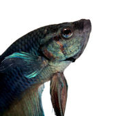 Blue Siamese fighting fish - Betta Splendens — Stock Photo