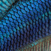 Close-up on a fish skin - blue Siamese fighting fish — Foto Stock