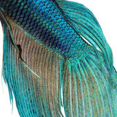 Close-up on a fish skin - blue Siamese fighting fish — Stock Photo