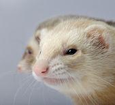 Ferret - Mustela putorius furo — Stock Photo