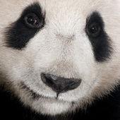 Giant Panda (18 months) - Ailuropoda melanoleuca — Stock Photo