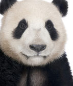 Giant Panda (18 months) - Ailuropoda melanoleuca — Stock Photo