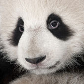 Giant Panda (6 months) - Ailuropoda melanoleuca — Stock Photo
