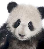 Giant Panda (6 months) - Ailuropoda melanoleuca — Stock Photo