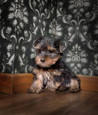 Puppuy yorkshire terrier in a retro room — 图库照片