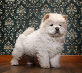 Young Chow-chow in a retro room — Stock Photo