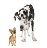 Harlequin Great Dane (4 years) looking down at a small chihuahua (18 months) in front of a white background — Stock Photo