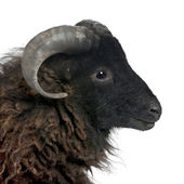 Black shhep - Ouessant ram (4 years old) — Stock Photo