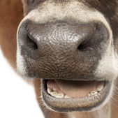 Close-up on a snout of a Jersey cow (10 years old) — Stock Photo