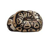 Young Python regius, 10 months old, curled up in front of a white background, studio shot — Stock Photo