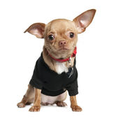 Chihuahua puppy (8 mounths) — Foto Stock