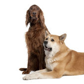 Couple of a Irish Setter (3 years) and a akita inu (4years old) — Stock Photo