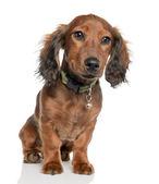 Dachshund puppy (5 months old) — Stock Photo