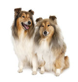 Group of two shelties (5 and 6 years old) — Stock Photo