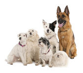 Group of german shepherd, border collie and some crossbreed — Stock Photo