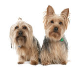 Couple of Yorkshire Terrier (2 years and 5 years old) — Stock Photo