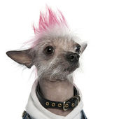 Chinese Crested Dog - Hairless (2 years old) — Stock Photo