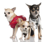 Group of three chihuahua — Stock Photo