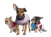 Group of three chihuahua and a bastard — Stock Photo