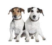 Couple of two Jack russells (2 and 3 years old) — Stock Photo