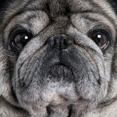 Close-up on a pug (8 years) — Stock Photo