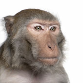Rhesus Macaque - Macaca mulatta — Stock Photo