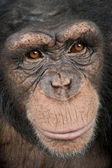 Close-up on a head of a Young Chimpanzee - Simia troglodytes (5 — Stock Photo