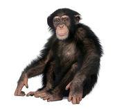Young Chimpanzee - Simia troglodytes (5 years old) — Stock Photo